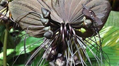 «زبان شیطان» گیاه کمیاب و عجیبی که شبیه خفاش است!