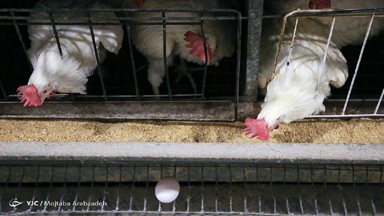 استمرار روند کاهش قیمت مرغ در روزهای آتی / نرخ مرغ به 33 هزار و 500 تومان رسید