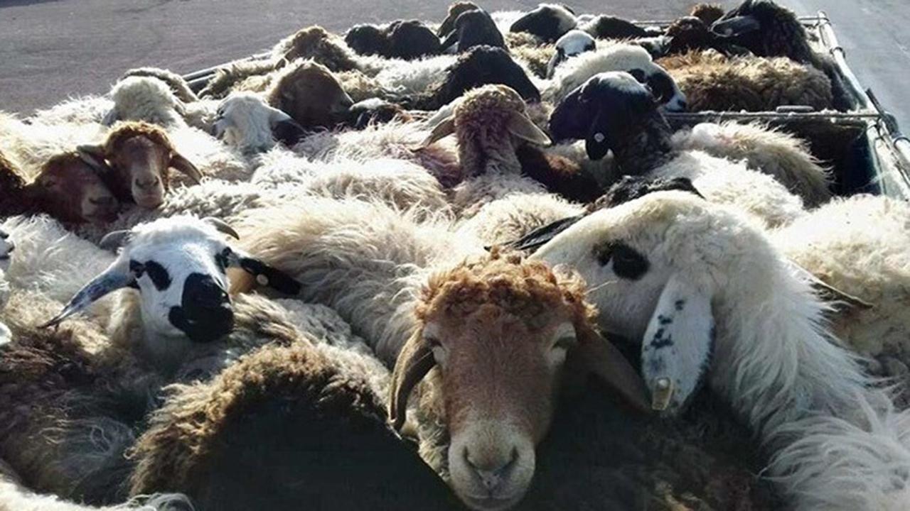 کشف بیش از ۴ هزار رأس گوسفند قاچاق در فارس