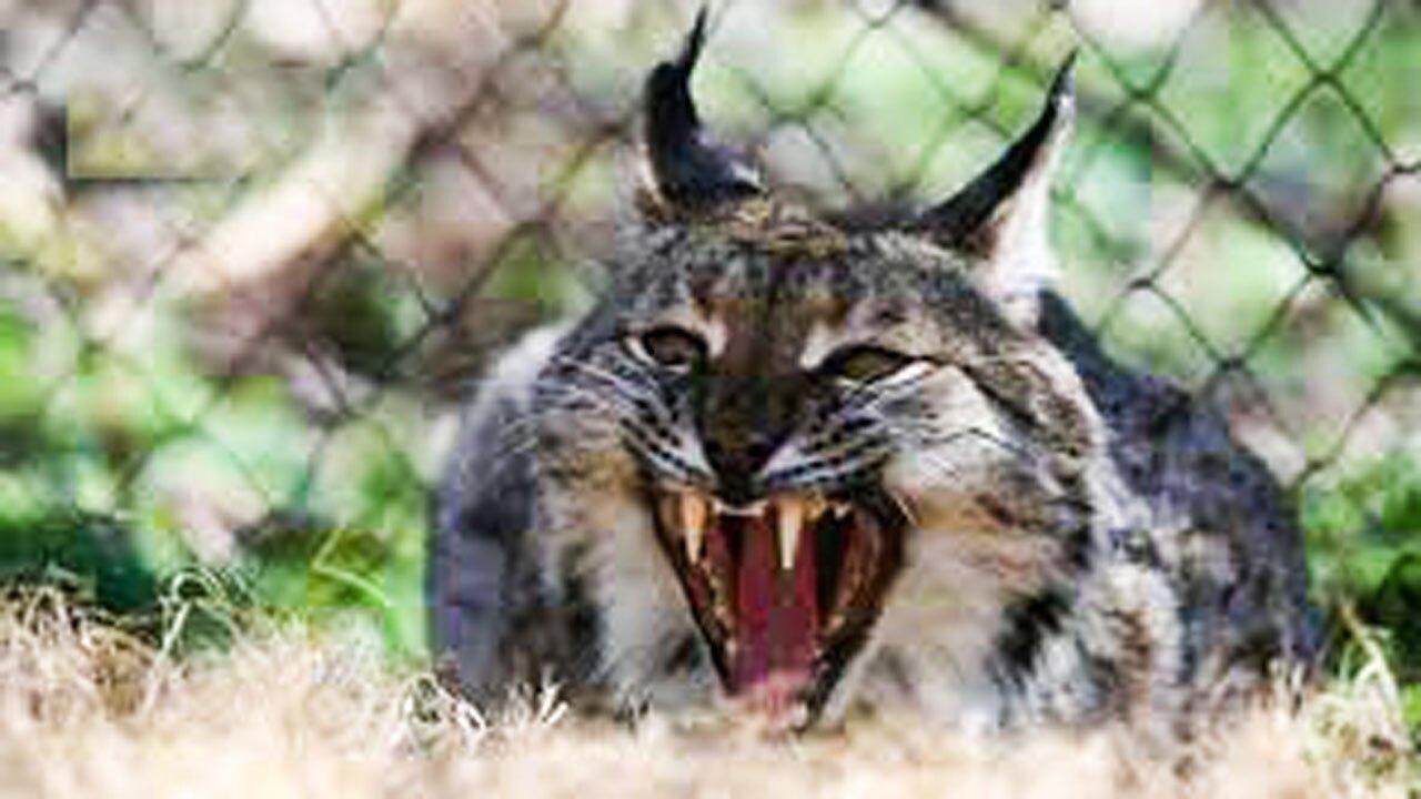 شکار شدن مار توسط گربه سیاهگوش