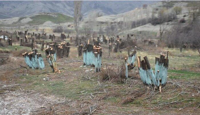 تخریب طبیعت قوچان به بهانه هرس درختان
