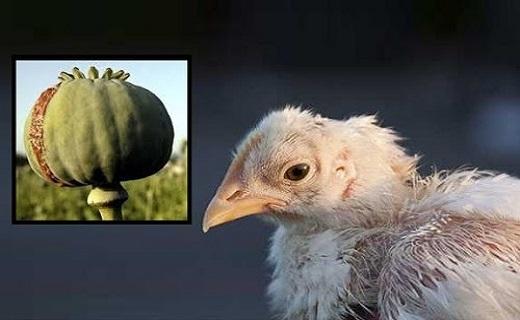 جوجه کباب بخورید، تست اعتیادتان مثبت میشود/ خبرسازی بازار مرغ این بار با مرغهای تریاکی