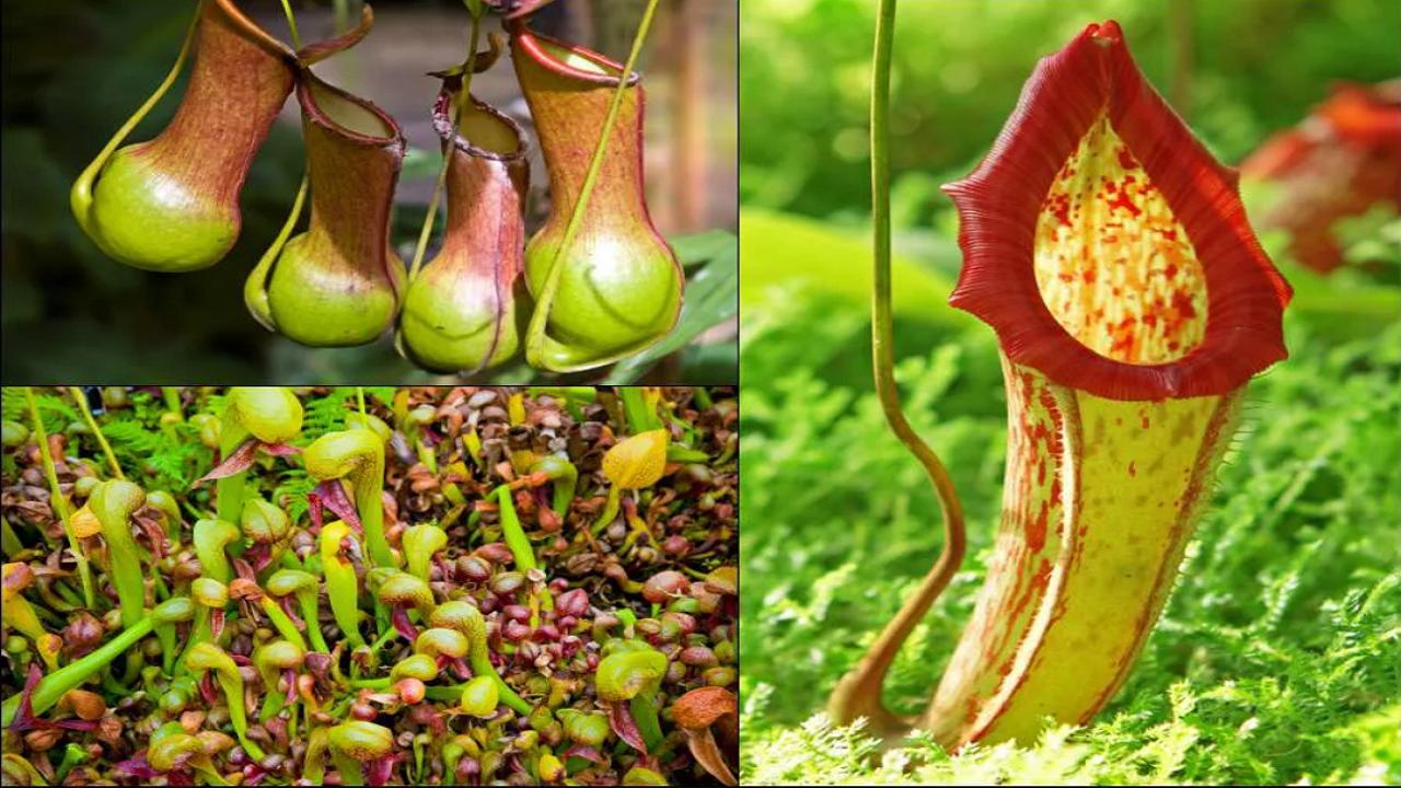 ۶ تله هوشمندانه که توسط گرسنهترین گیاهان گوشتخوار جهان تنظیم شده است