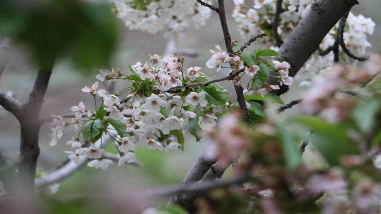 هشتمین جشنواره شکوفههای گیلاس در روستای زشک