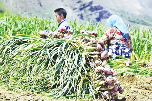 قیمت پایین سیر، داد کشاورزان شهدادی را درآورد!
