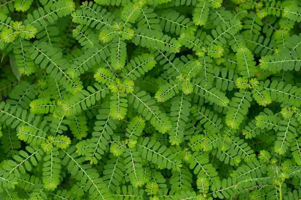 ۵ کاربرد جادویی گیاه منیران برای درمان بیماریهای مختلف