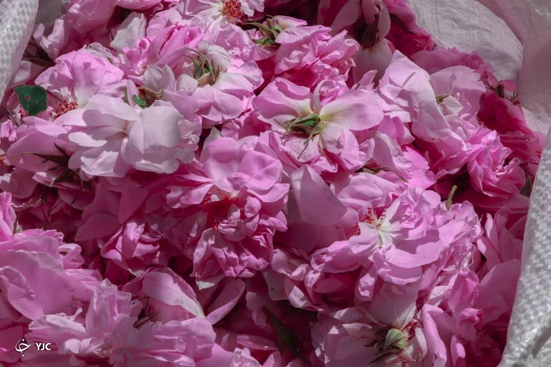 عطر گل محمدی از گناباد به مشام می رسد