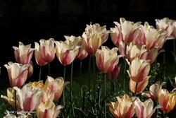 جشنواره گل های لاله - اراک