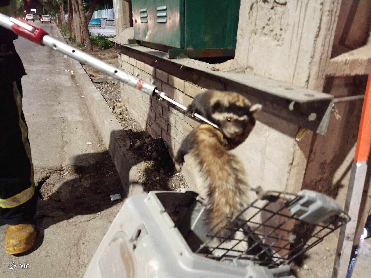 نجات پلنگ موش گرفتار در ساوه
