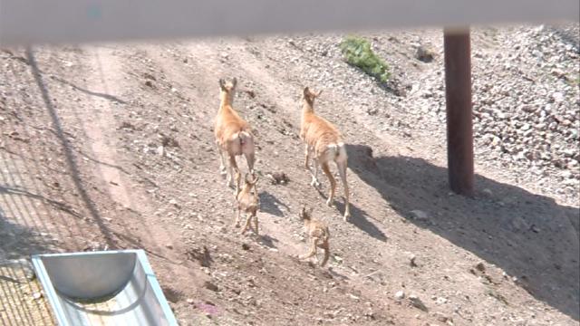 دو قلو زایی میش لارستانی در دهکده طبیعت قزوین