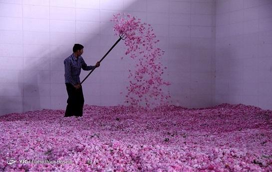 رده پای خام فروشی در صنعت گلاب و اسانس؛ به نام کاشان و به کام خارجیها