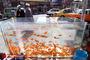 فروش ماهی قرمز در قم