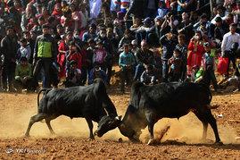 جشنواره گاوبازی در نپال