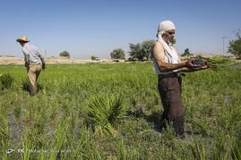 آغاز فصل برنج كاری در مباركه اصفهان