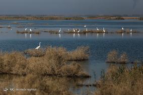 مهاجرت پرندگان به تالاب هور العظیم