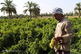 برداشت انگور از تاکستان غزاویه شهرستان کارون