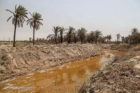 مرگ بیش از 700 نفر نخل در شهر خنافره از توابع شهرستان شادگان