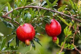 برداشت انار از باغات ارسنجان فارس