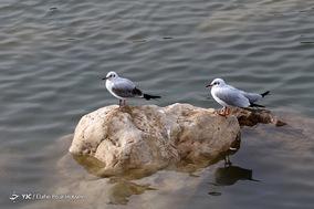 مهاجرت مرغان دریایی _ شیراز