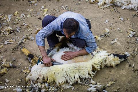 پشم چینی گوسفندان