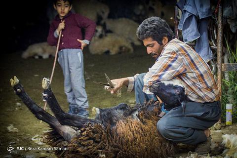 پشم چینی گوسفندان با یک قیچی بزرگ به نام «چیره» هر سال قبل از گرم شدن هوا، درچهارمحال و بختیاری انجام میشود