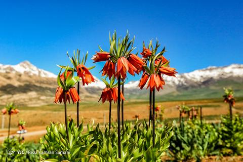 دشت لالههای واژگون کوهرنگ رویشگاه اصلی گونهی گیاهی لاله واژگون و یکی از جاذبههای دیدنی و گردشگری ایران است