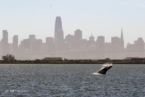 نهنگ ها در سانفرانسیسکو
