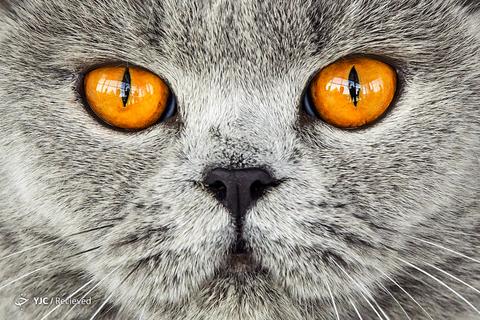 یک گربه بریتانیایی در نمایشگاه بین المللی، در آلمان