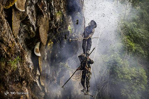 شکار عسل وحشی