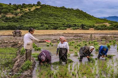 نشاء برنج در شالیزارهای استان گلستان