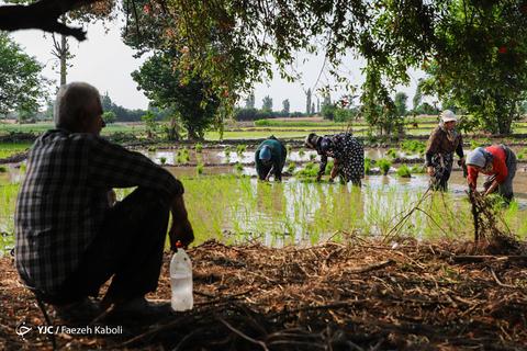 نشای برنج در شالیزار های گرگان