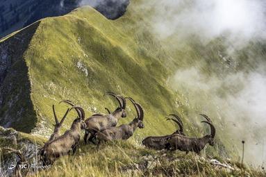 گله بز وحشی، در رشته کوه های برنیز جنوب غربی کشور سوئیس
