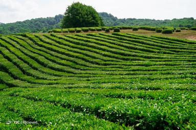 مزارع چای در روسیه