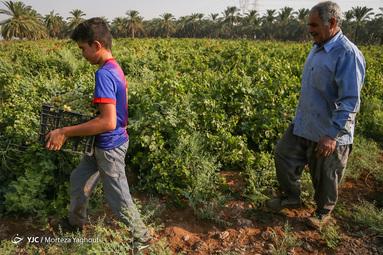 برداشت یاقوت سبز از تاکستانهای انگور در شهرستان کارون استان خوزستان