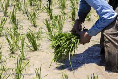 نشاء برنج در لردگان