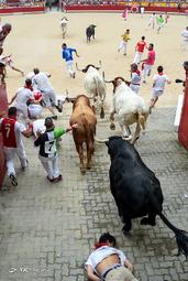 جشنواره گاو بازی سنفرمین