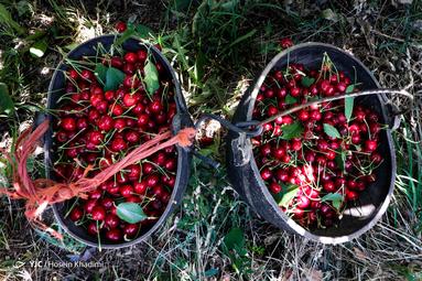 برداشت گیلاس از باغات روستای هزاوه