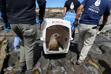 مسمومیت شیرهای دریایی ناشی از جلبک های مضر در کالیفرنیا