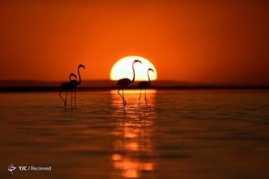 فلامینگو در دریاچه توز استان کونیا ترکیه