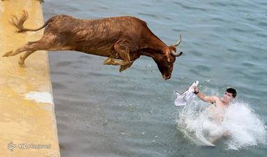 اجرای سنتی گاوهای بولز در بندر دنیای در نزدیکی آلیکانته اسپانیا