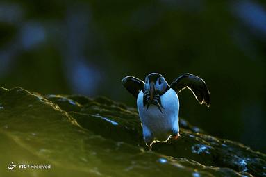 مرغان دریایی از خانواده پنگوئن بومی نواحی شمالی در ایسلند