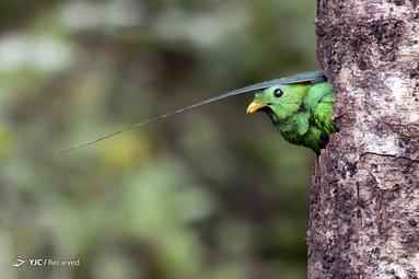 نوعی پرنده بومی امریکای مرکزی در کاستاریکا