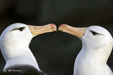 آلباتروس Black-browed در جزایر فالکلند