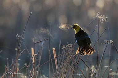 پرنده سیه پر بومی امریکا در مونتانا