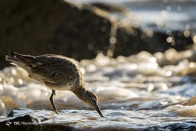 مرغ ساحلی درشت اندام شبیه لک لک یا ماهیخوار در کالیفرنیا