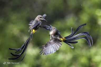 نوعی پرنده در آفریقای جنوبی