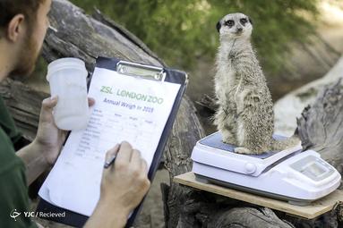 اندازه گیری وزن حیوانات در باغ وحش لندن
