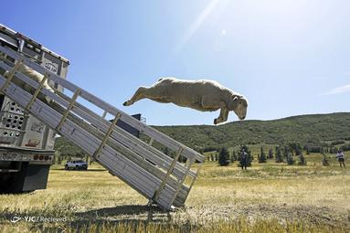 مسابقات قهرمانی سالانه گوسفندان در یوتا
