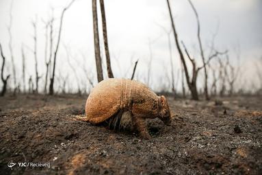 یک آرمادیلو در منطقه آتش گرفته چاراگوا، بولیوی