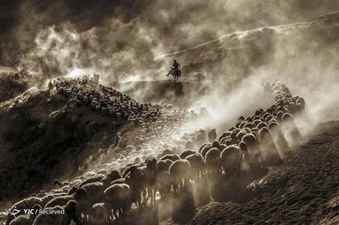 گوسفندان در ارتفاعات کوه نمروت در منطقه تاتوان بیتلیس، ترکیه